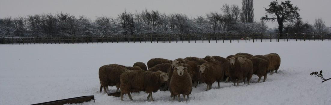 Sheep in Stockton Road field